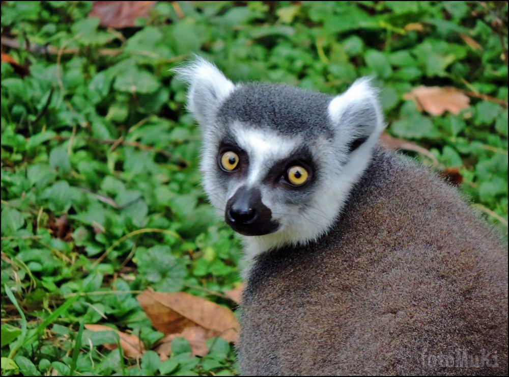 Lemur... by mukikovacevic