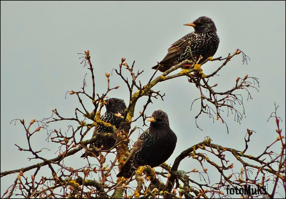 Starling  (lat. Sturnus vulgaris)... by mukikovacevic