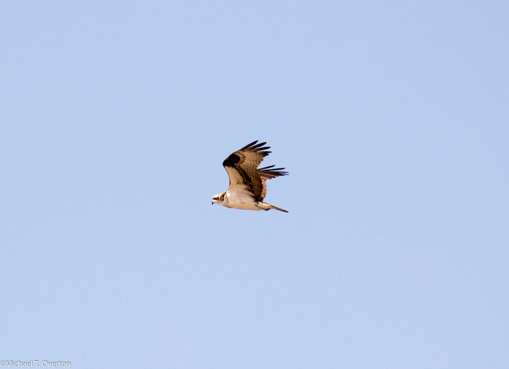 Osprey in flight by Michael T. Overton