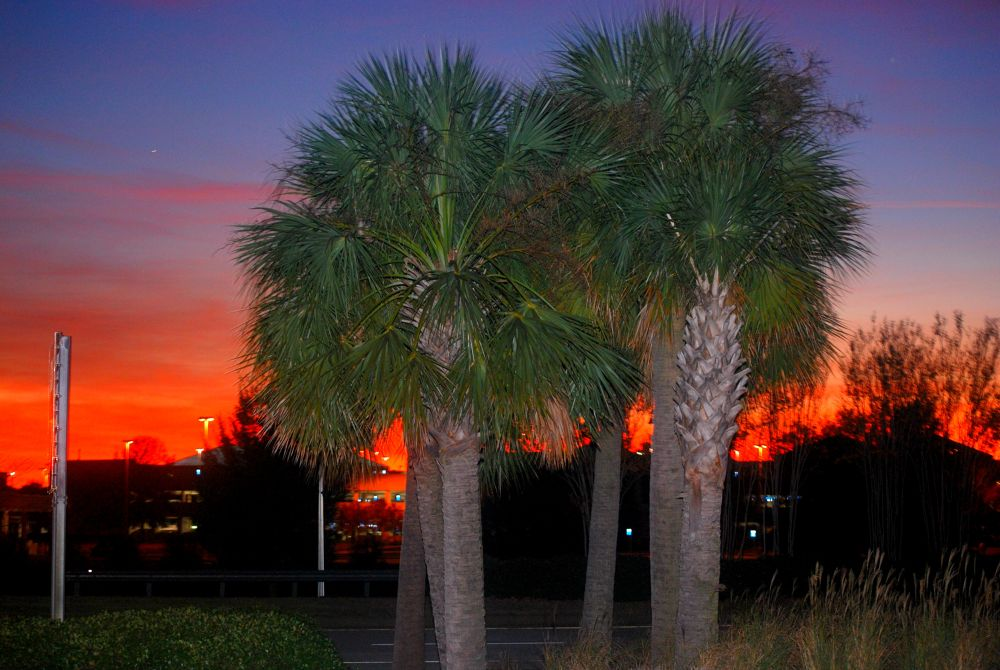 Palmetto Trees at Sunset by williamcopeland