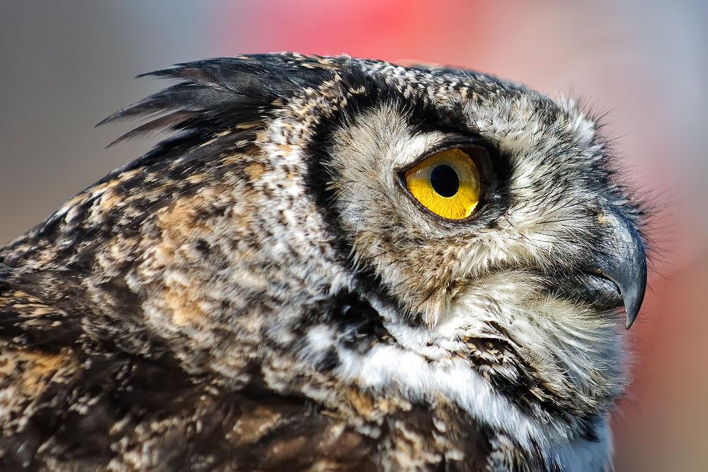 Owl by Daniel J Bellyk