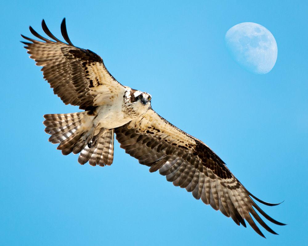 Osprey by Daniel J Bellyk