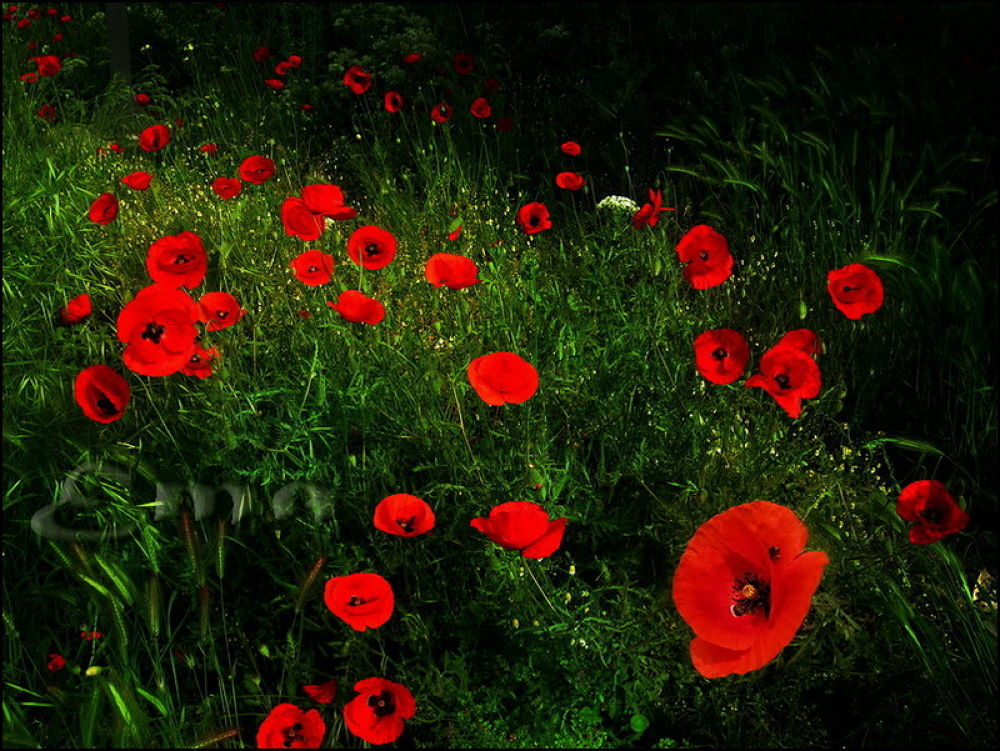 Red Field by Ema1956