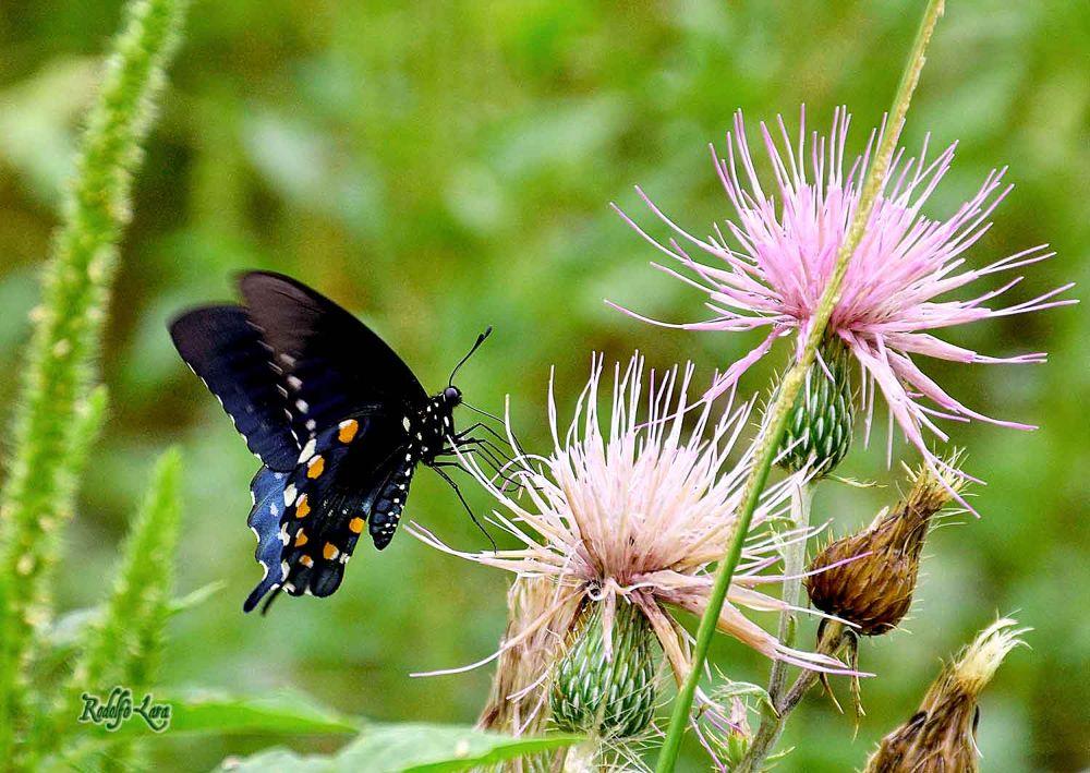 mariposa-negra by rodolfolara315