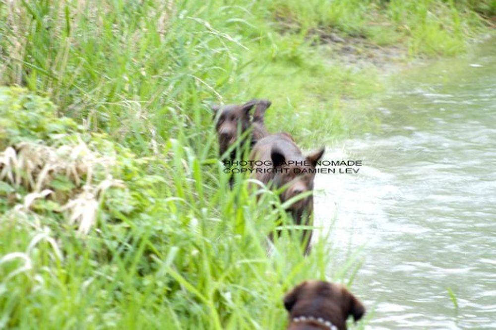 mes labradors A DECOUVRIR SUR MON SITE http://denis.levieux7.perso.sfr.fr/ by ugo12dolly
