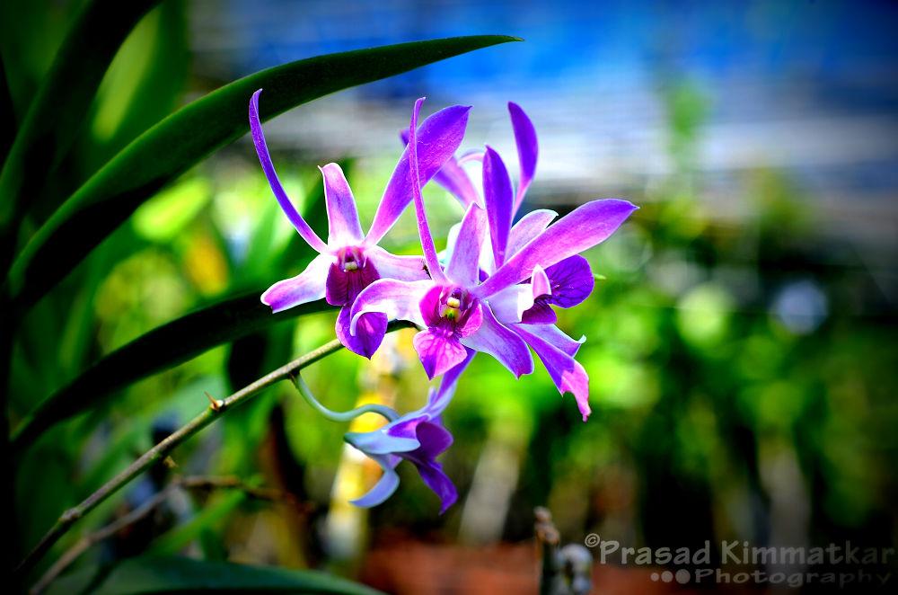 Purple Orchid by prasadkimmatkar