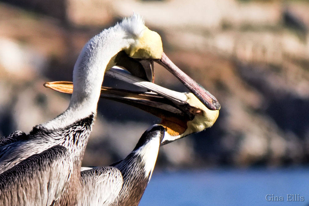 Photo in Animal #pelicans #sea birds #sea #ocean #water #nature #animals