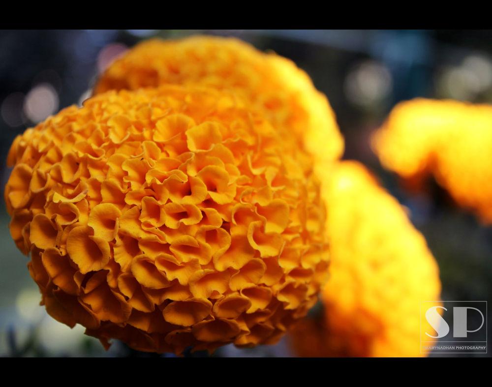 flower (3) by swamynadhan167