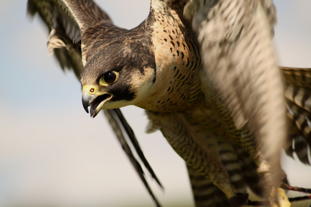 Peregrine Falcon by Blackalder Photography