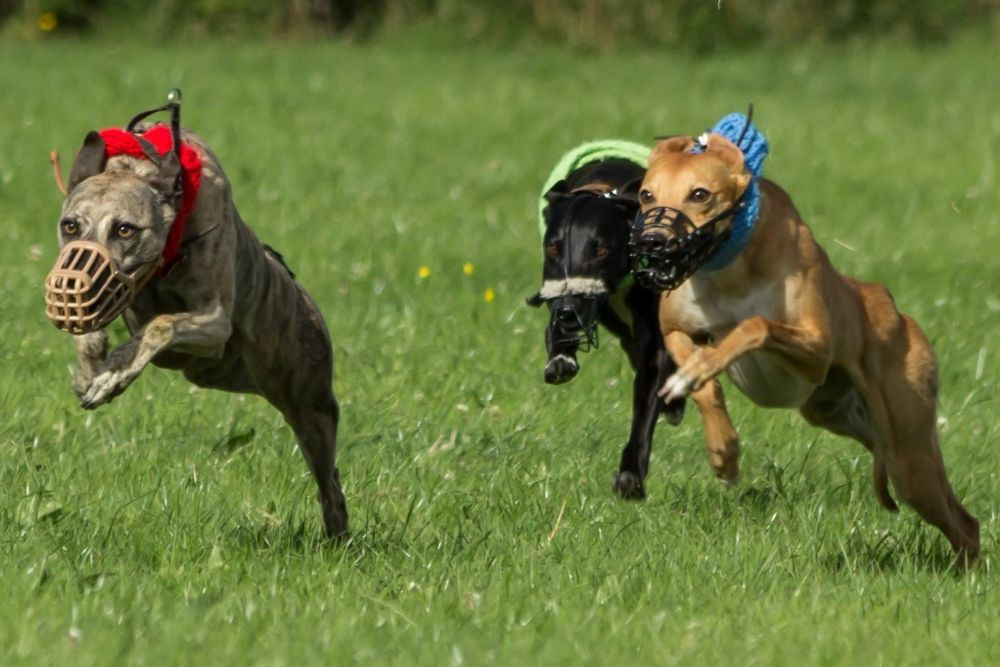 Greyhounds by Blackalder Photography