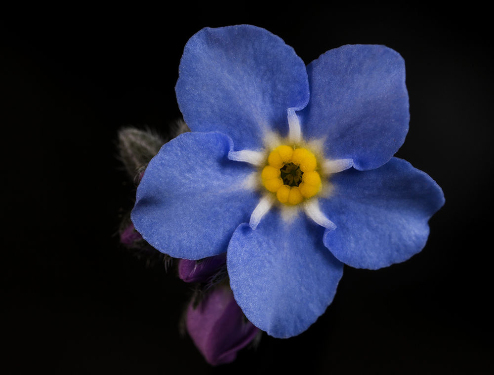Forget me not by Nico