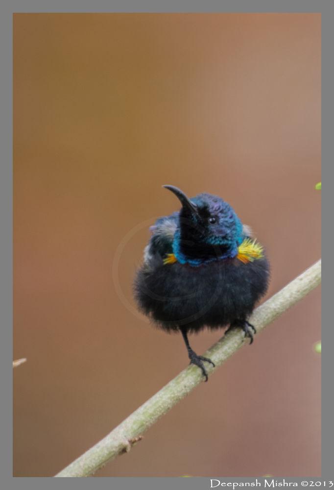 Photo in Nature #purple sun bird #eclipse male #post rains #deepansh mishra