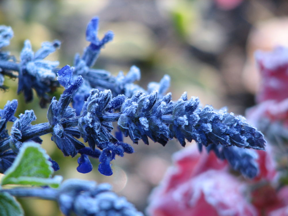 Frost tipped mystic spires salvia by Vivian Wilcox