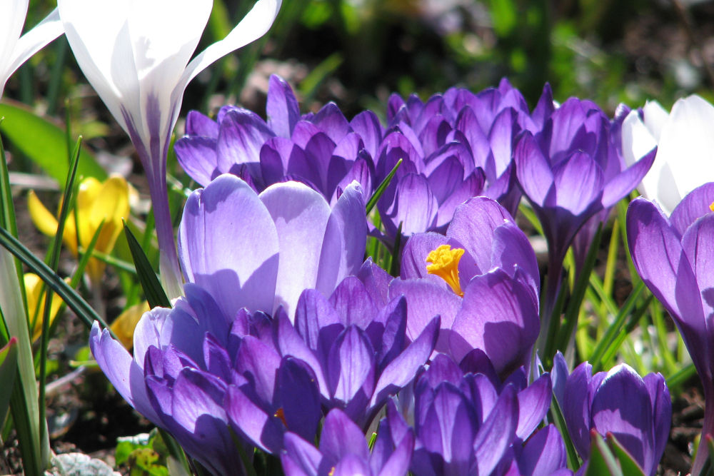 I love crocus by Vivian Wilcox