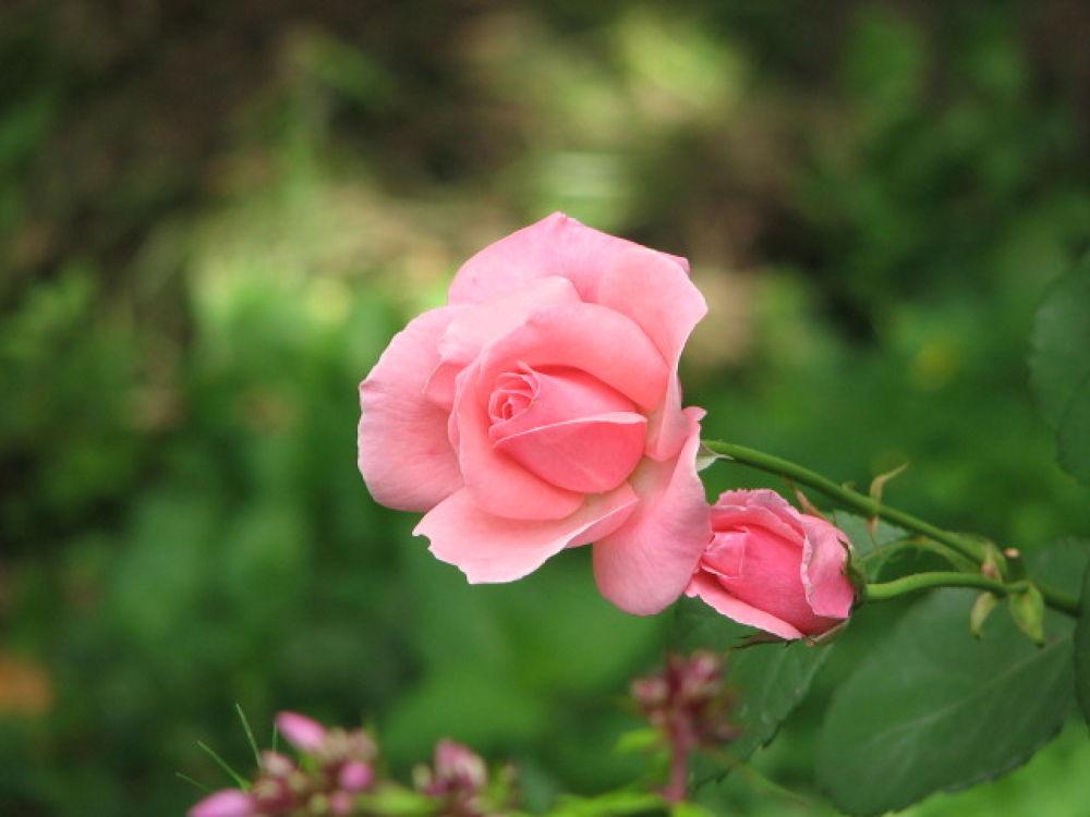 Queen Elizabeth rose by Vivian Wilcox