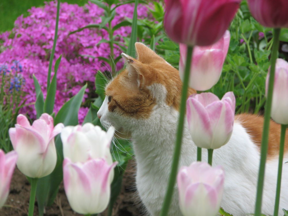 Buddy in the tulips by Vivian Wilcox