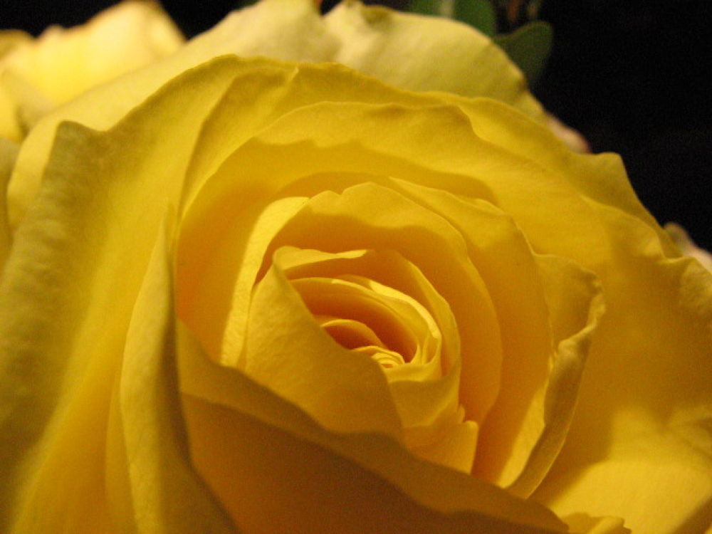 Gold medal rose by Vivian Wilcox