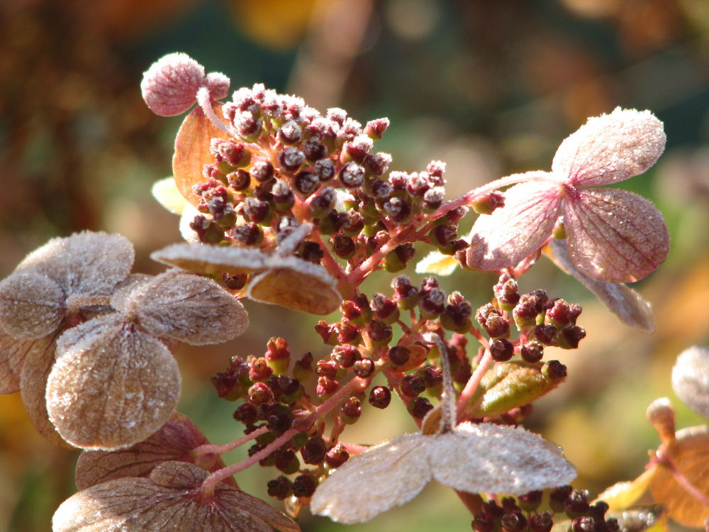 Cooled off quickfire hydrangea by Vivian Wilcox