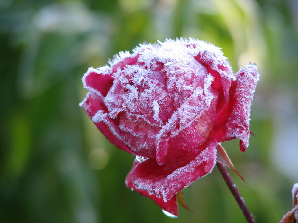 Jack Frost by Vivian Wilcox
