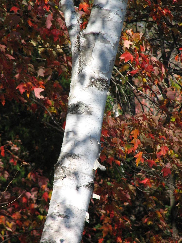 Birch trunk by Vivian Wilcox
