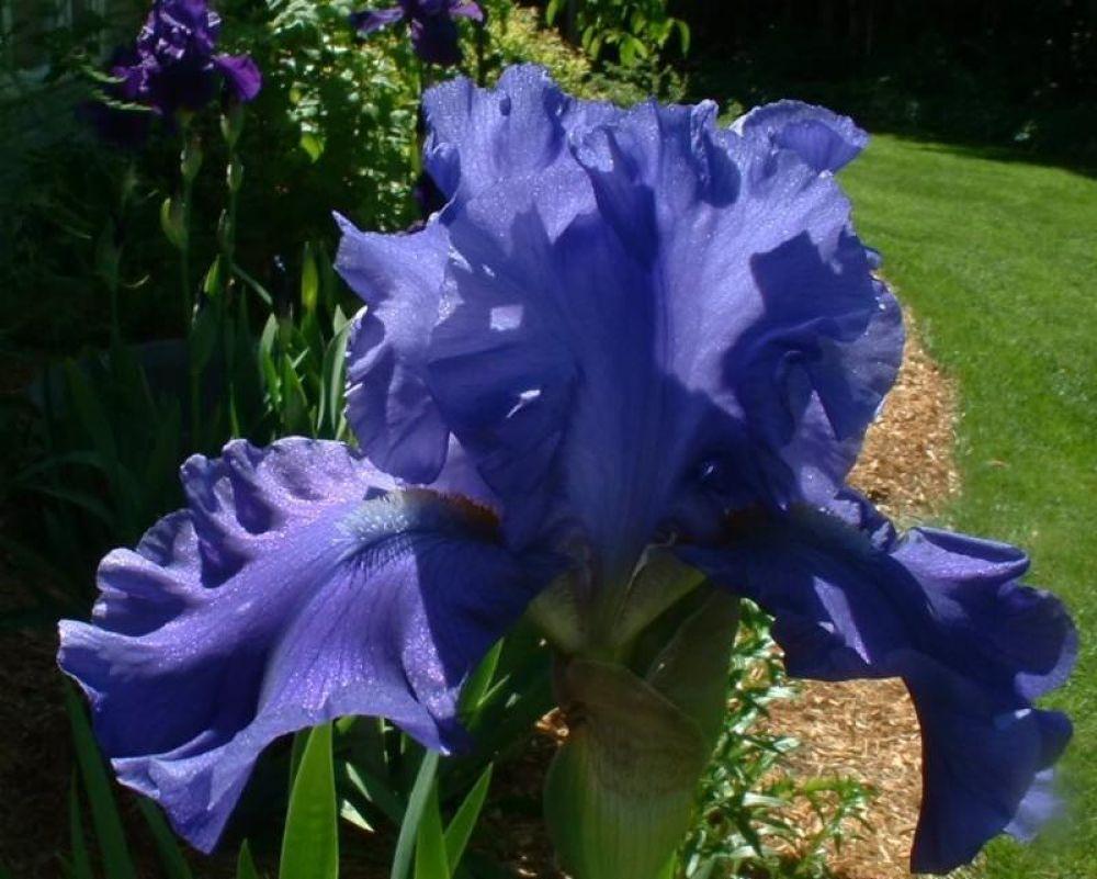 breakers iris by Vivian Wilcox