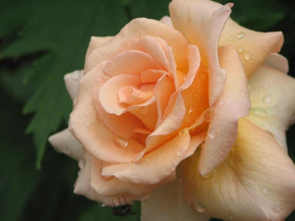 peach rose by Vivian Wilcox