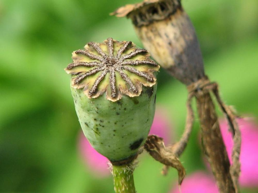 seed pod by Vivian Wilcox