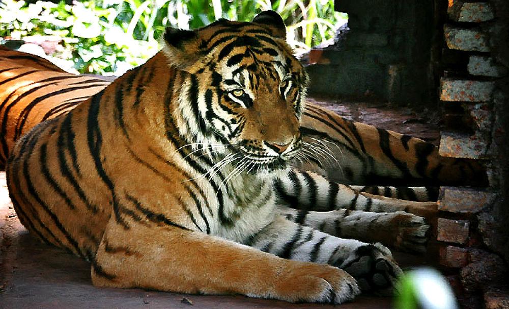 Tiger by gustinoorifansjah42