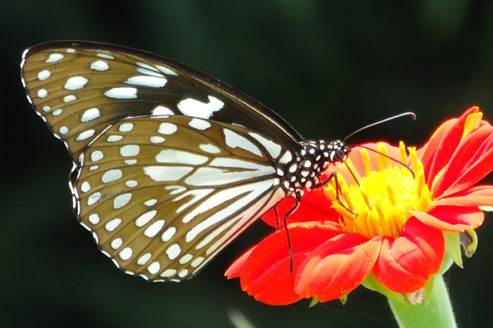 tiger butterfly by minalpatel79230