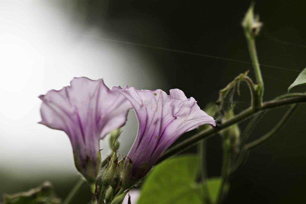 Flor silvestre-2 by Mario Arana Garcia