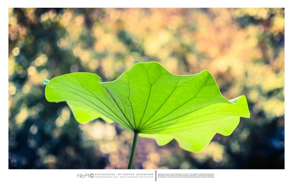 A lotus leaf by nnok69