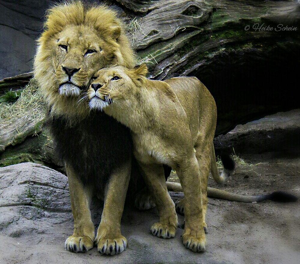 Lions in Love  by HeikeSchein