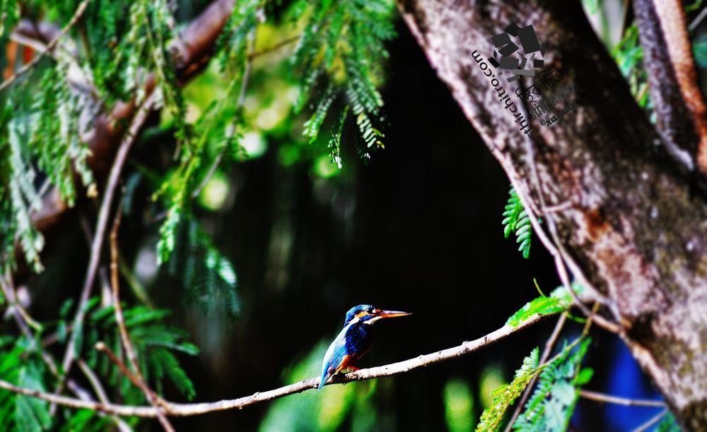 kingfisher by shams xaman