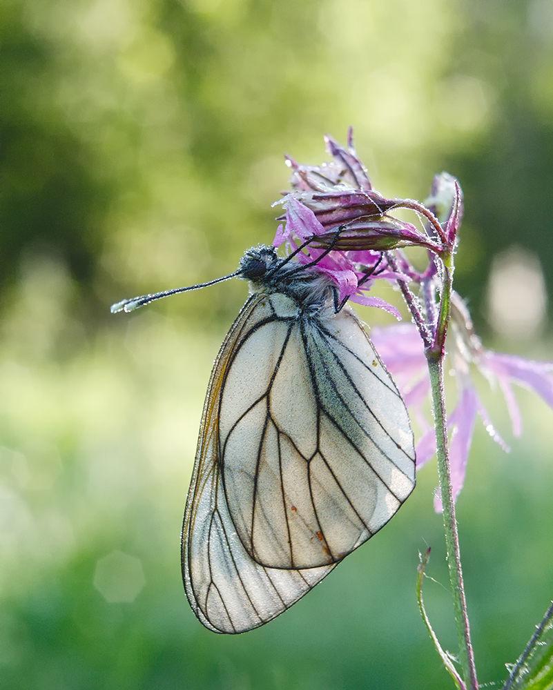 Butterfly Aporia crataegi, the Black-veined White by Gnilenkov