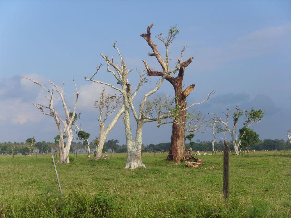 beautiful contrasting trees of Vanuatu by Duncan