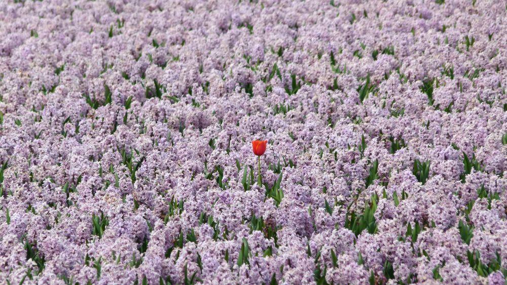 Tulip amongst hyacinths by Henk de Groot