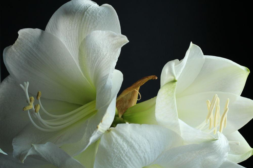 amaryllis by Henk de Groot