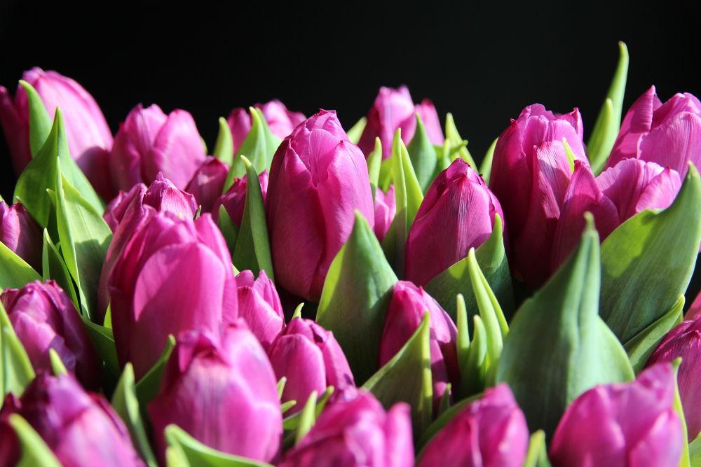 Purple tulips by Henk de Groot