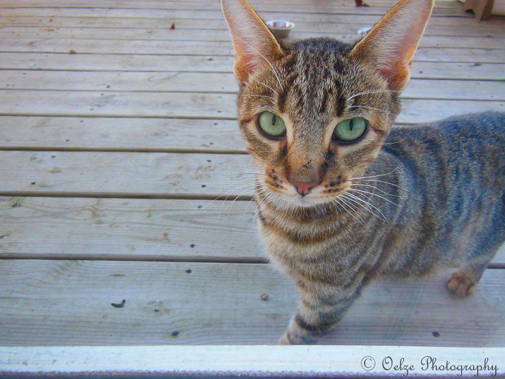 Preggo (the pregnant stray cat I feed) by pvporter