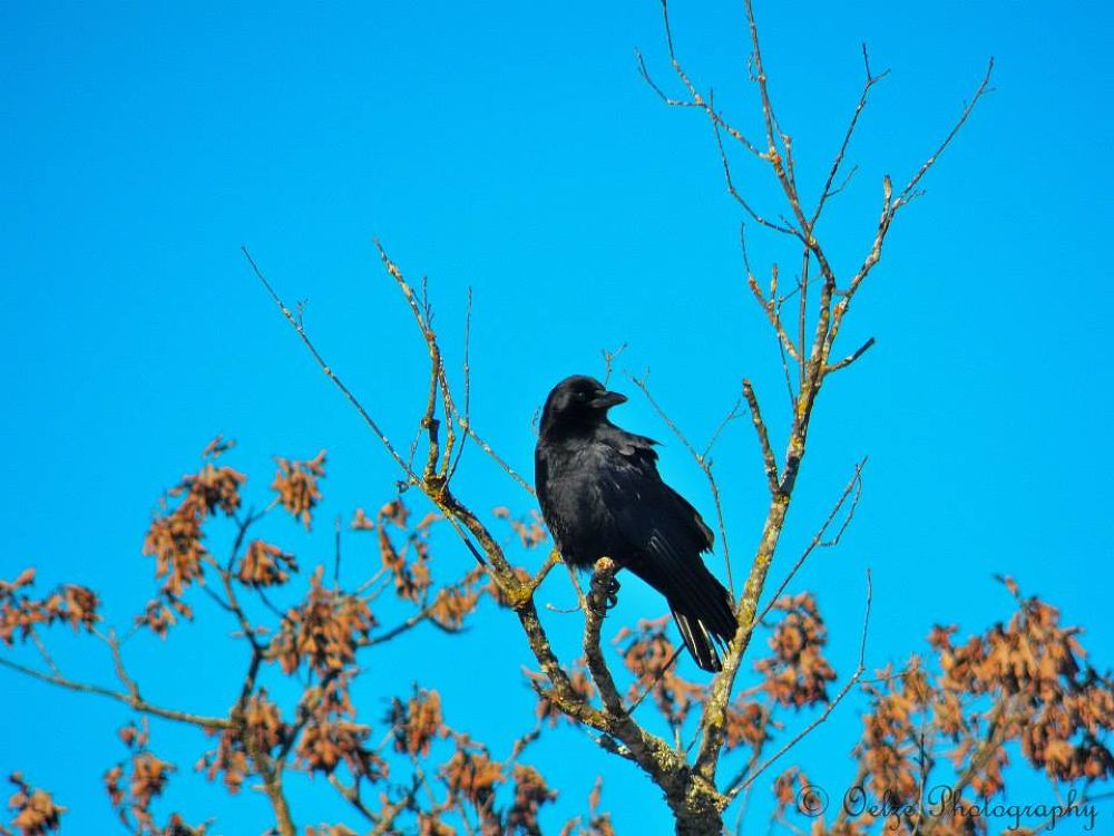 Crow by pvporter