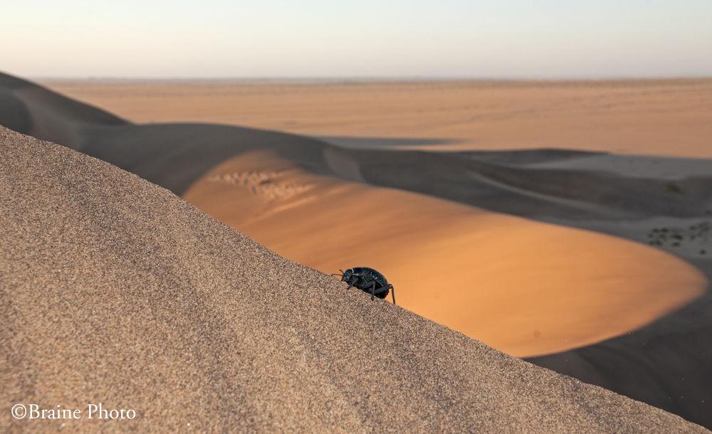 Knobbly Darkling Beetle (Physadesmia globosa) by braine