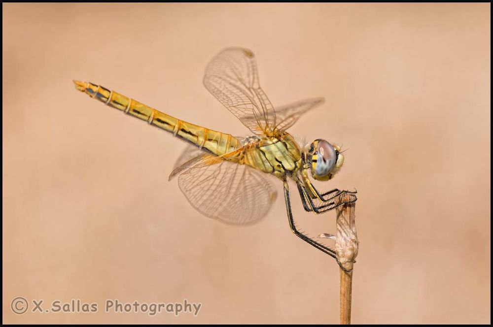 Sympetrum fonscolombii by Christos Sallas