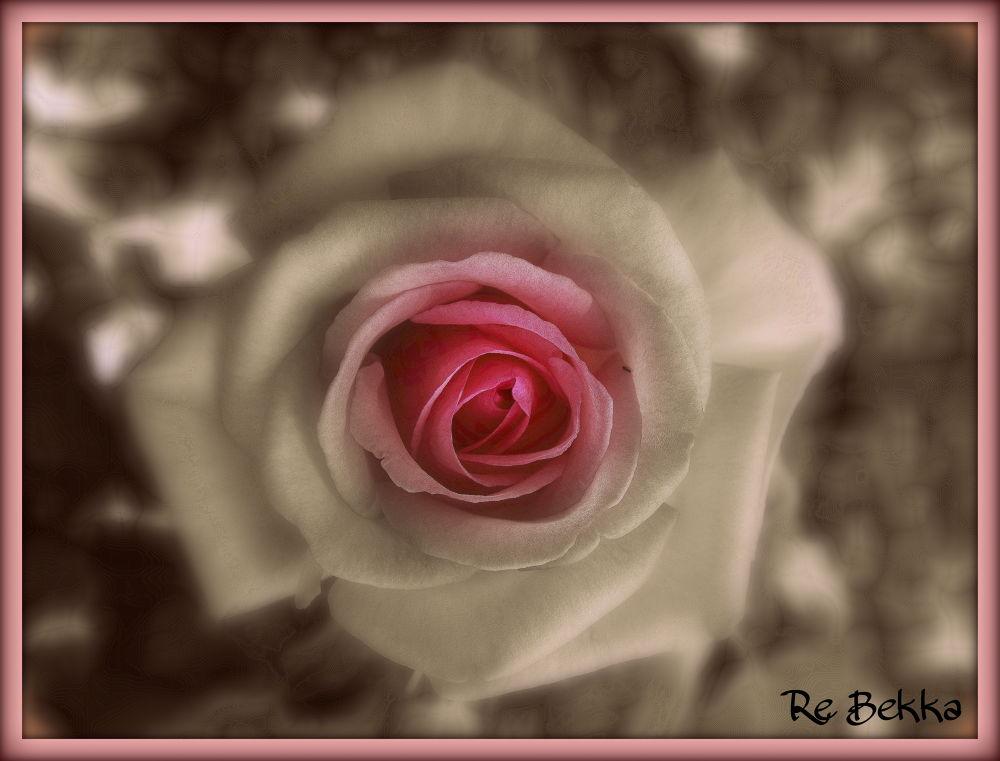 rosa sfumata by sofialore5648