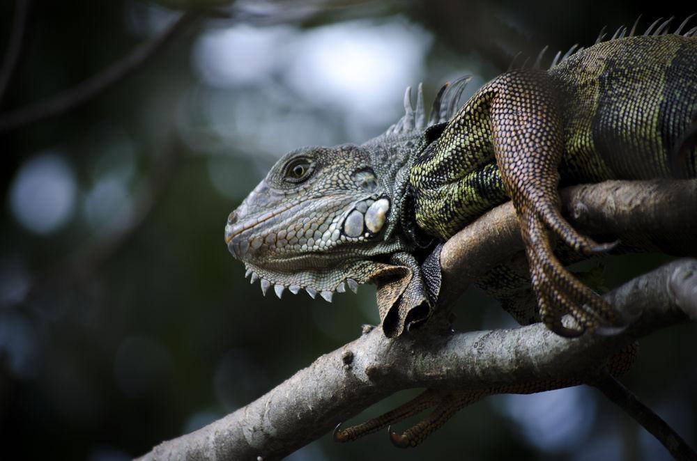 Gray Iguana by Omar Andres Piedrahita Zapata