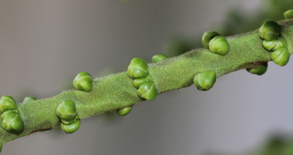 Buds on Oahu by Clem Walsh Photography