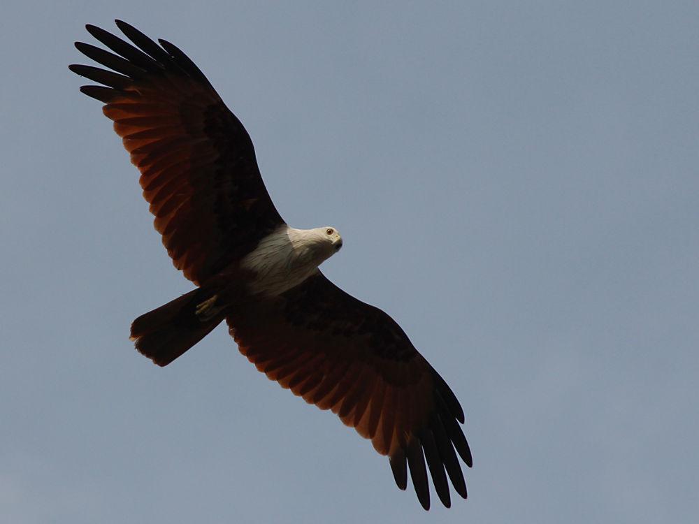 Brahminy-kite by nithyapurush
