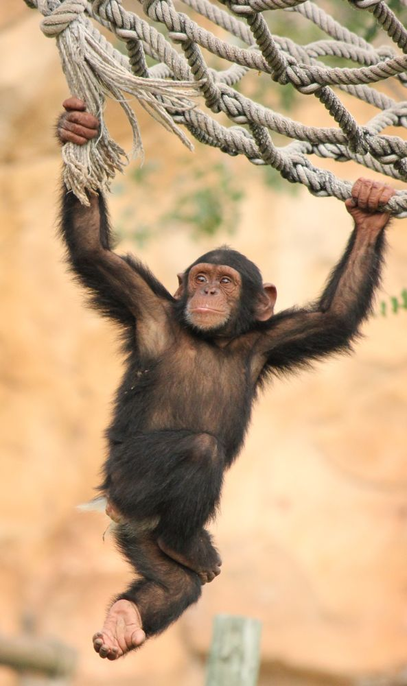 Young Chimpanzee by Bernardo Marques Photography