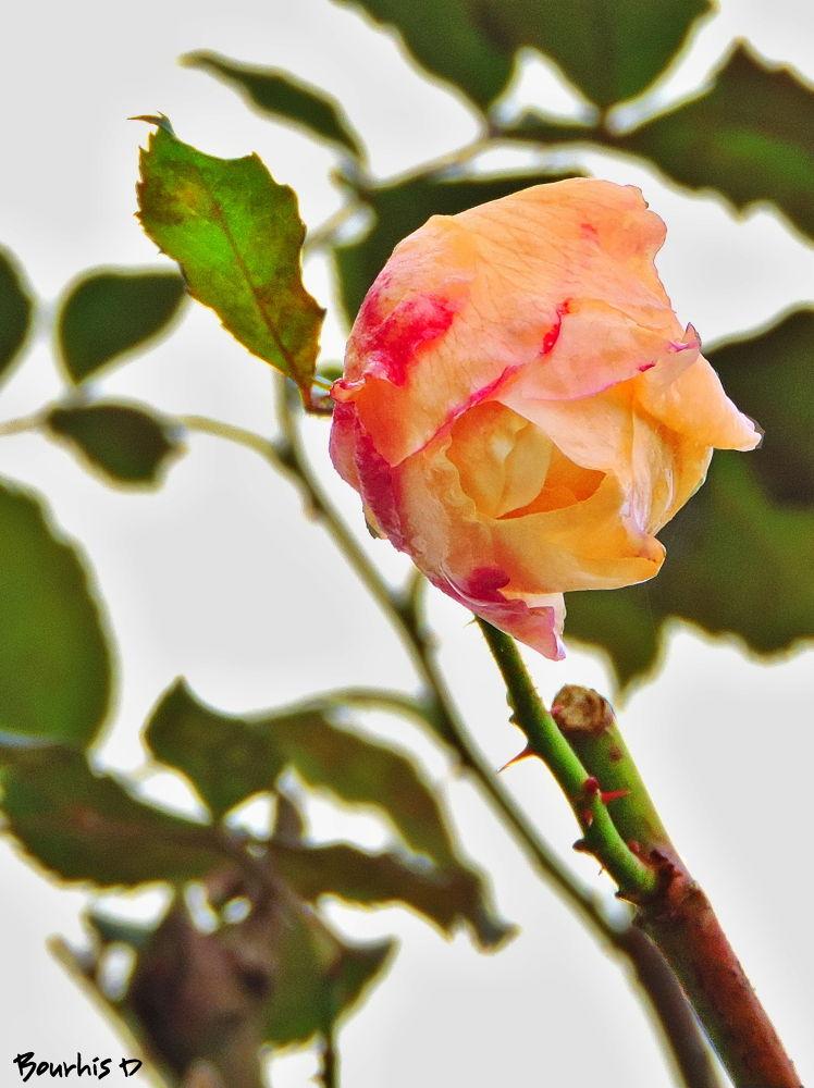 rose avec léger traitement by Bourhis David
