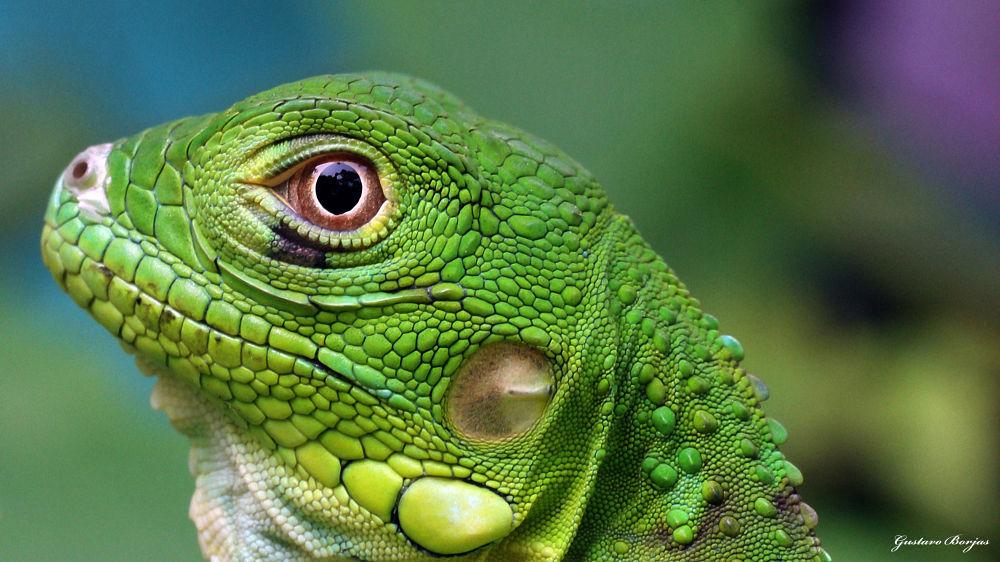 .....verde, verde iguanita by Gustavo A. Borjas