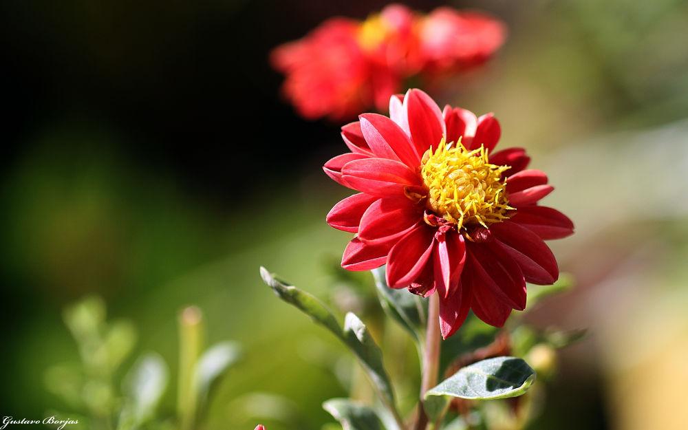 Los colores de una hermosa flor by Gustavo A. Borjas
